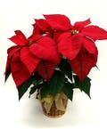 3 Bloom Red Poinsettia