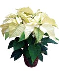 3 Bloom White Poinsettia