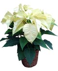 4 Bloom White  Poinsettia