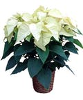 5 Bloom White Poinsettia