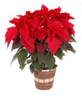 5 Bloom Red Poinsettia