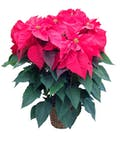 6 to 7 Bloom Red Poinsettia