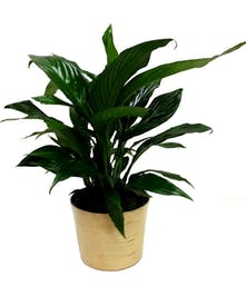 Easy Care Green Floor Plant