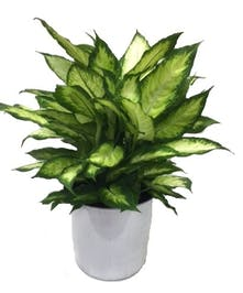 Live green plant, easy care.