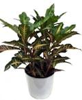 Deluxe Croton