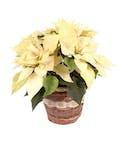 Holiday Special White Poinsettia
