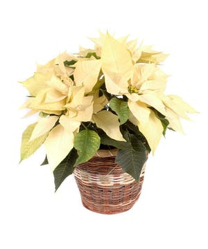 Holiday Special White Poinsettia
