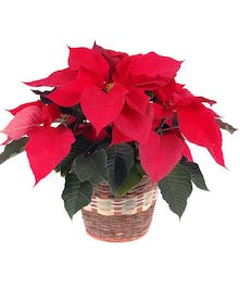 Holiday Special Red Poinsettia