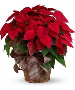 A Traditional Poinsettia Plant