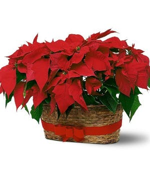 2 Beautiful Holiday Red Poinsettias in a Basket