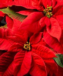 A Traditional Poinsettia