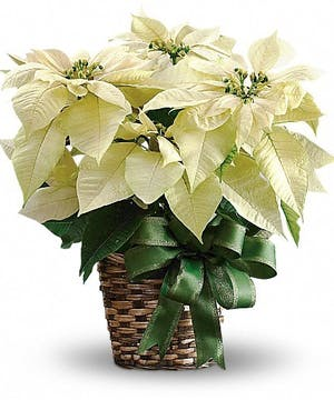 New Year's White Poinsettia