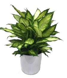 Deluxe Dieffenbachia